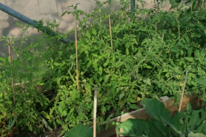 Tomatoes- Is it possible to grow Tomacco?