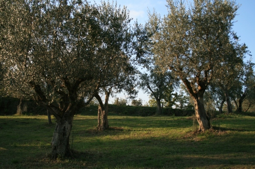 Olives are the major source of revenue for the farm.